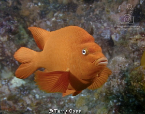 A fierce yet patient garibaldi (Hypsypops rubicundus) - t... by Terry Goss 
